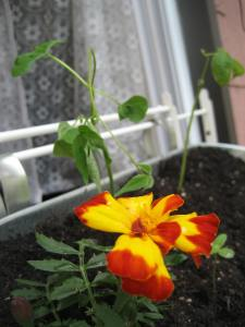 Marigolds, peas and zinnas.
