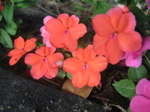 Impatiens - on of my grandmother's favorite flowers.