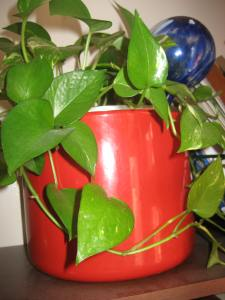 Nanny's philodendron in my Granddaddy's old enamel pot that I found on his farm.