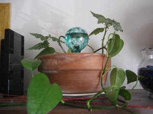 More sprouts of the philodendron and angel wing begonia