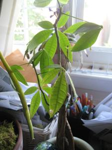 A money tree given me by the family of one of my husband's students.
