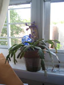 A Christmas cactus given me by a friend. I wish I had my grandmother's cactus.